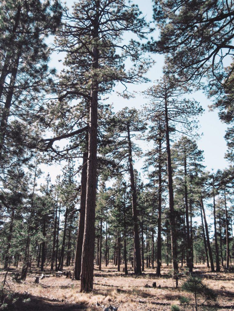 Mogollon Rim Forest